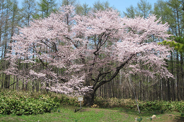 Cherry tree of north Shintoku graveyard