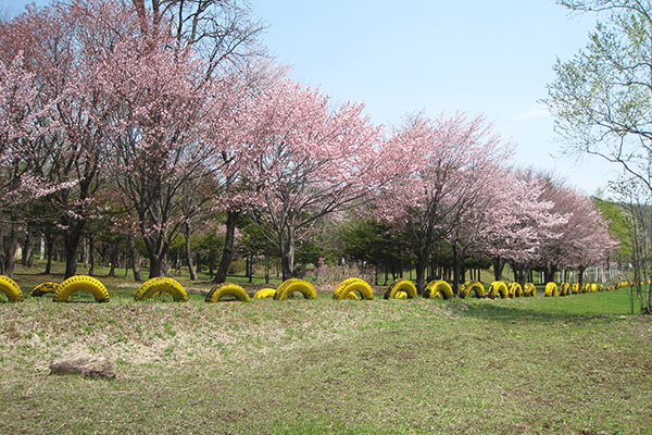 Row of cherry blossom trees of Karikachi Heights garden